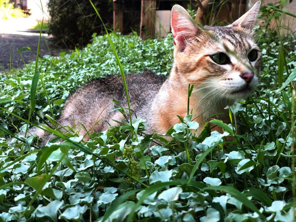 草むらで遊ぶ猫レオ