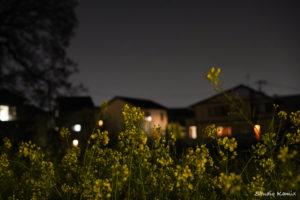 夜の菜の花