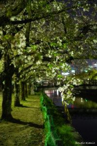 高知市城西公園夜桜